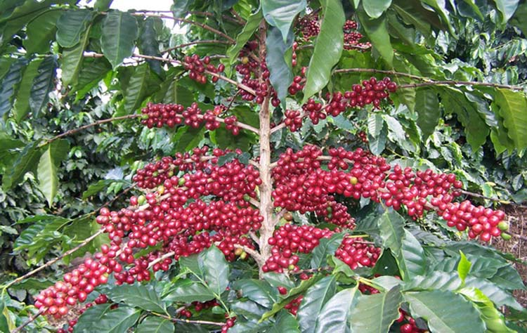 กาแฟ หนึ่งในสินค้าเกษตรเป้าหมาย