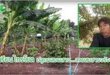 เกษตรกรไทรโยค...ปลูกทุเรียน แซมมะละกอ กล้วย ผักชี เติบโตดี รายได้งาม