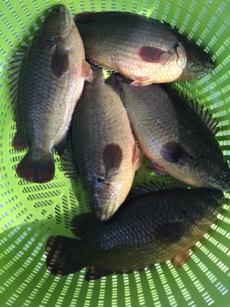 เลี้ยงปลาหมอบ่อผ้าใบในสวนยาง