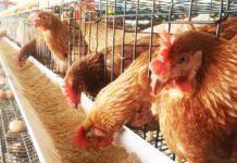 รมว.เกษตรฯ ปลื้ม ผู้เลี้ยงไก่ไข่พอใจ!! มาตรการรักษาเสถียรภาพราคาไข่ไก่ได้ผล