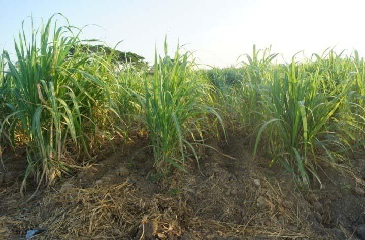 มก. มอบกล้าพันธุ์อ้อยปลอดโรคใบขาว 100,000 ต้นให้เกษตรกร