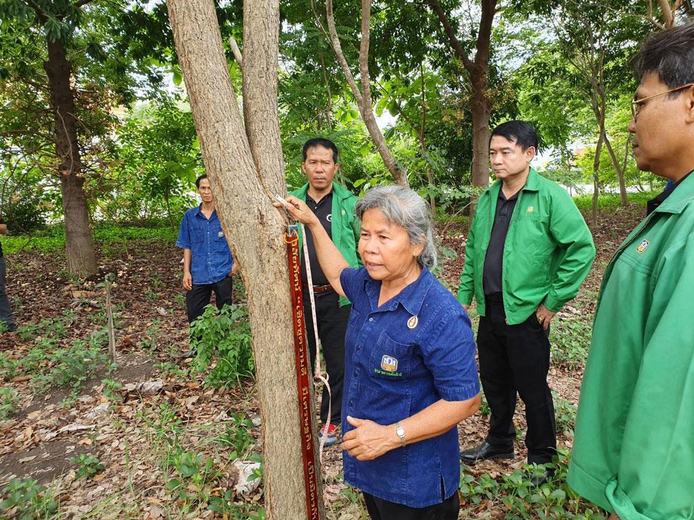 คุณป้าเพยาว์ แสงประไพ ประธานธนาคารต้นไม้ภาคกลาง กำลังสาธิตวิธีการวัดต้นไม้ให้ดูชม (ต้นพะยูง อายุ 4 ปี)