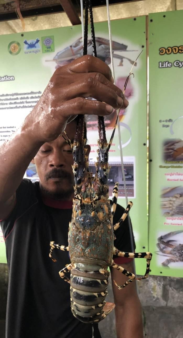 ดันกุ้งมังกรเป็นสัตว์น้ำเศรษฐกิจตัวใหม่