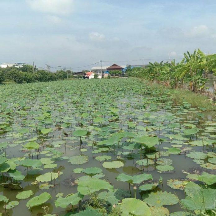 นาบัว ผักบุ้งน้ำ พืชทางเลือกสร้างกำไร ช่วยลดพื้นที่นาข้าวเกษตรกรเมืองนนท์