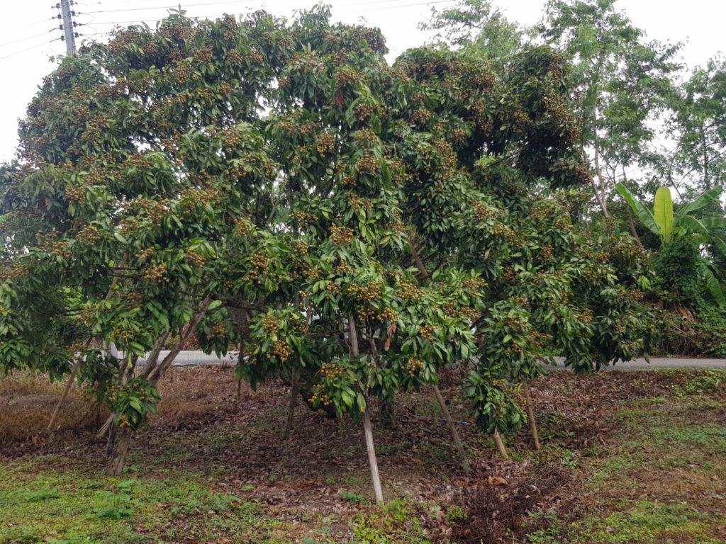 กรมส่งเสริมการเกษตรแนะชาวสวนผลไม้ให้ดูแลผลผลิตช่วงสภาพภูมิอากาศเปลี่ยนแปลง