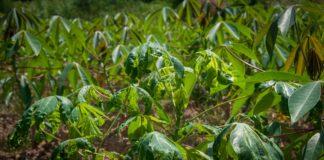 เกษตรฯ เผยยอดทำลายต้นมันสำปะหลังส่อโรคใบด่างแล้วกว่า 4 พันต้น