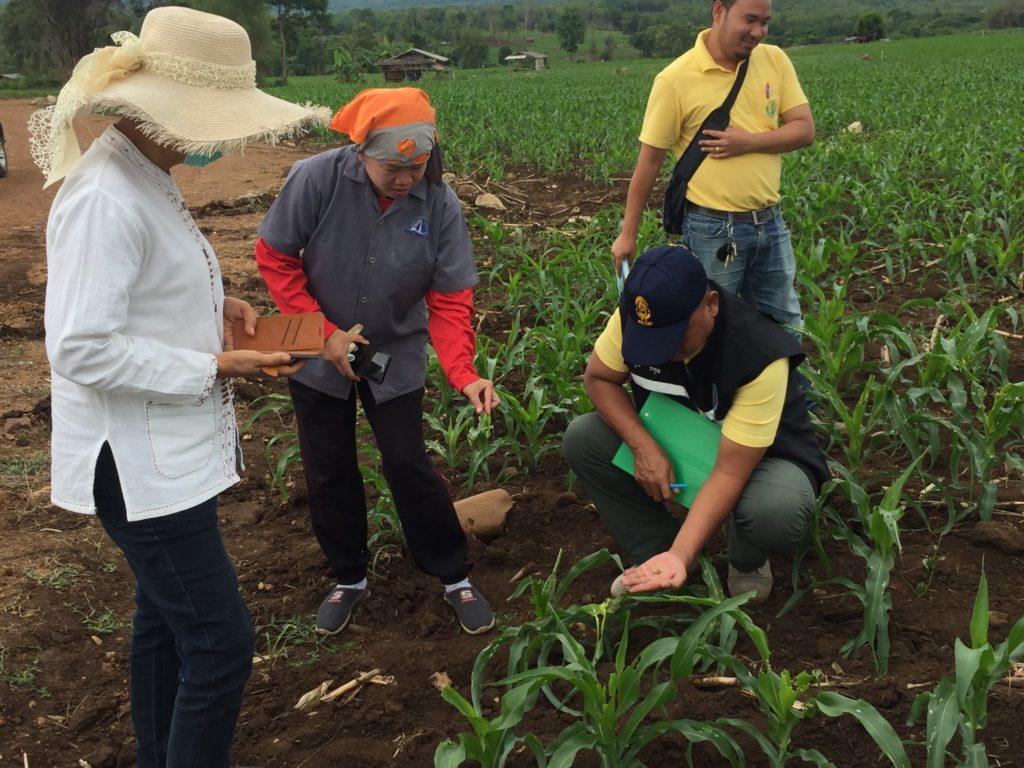 สภาเกษตรกรฯย้ำ!! อย่าวางใจในการทำลายล้าง 'หนอนกระทู้ข้าวโพดลายจุด' เกษตรกรกว่า 40 จังหวัด 'พินาศ'