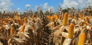 เปิดตัวข้าวโพดพันธุ์ใหม่ให้ผลผลิตสูง ทนแล้ง ต้านโรค ตอบทุกโจทย์ความต้องการเกษตรกร