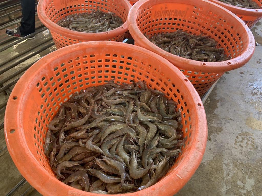 กรมประมง... มั่นใจอุตสาหกรรมกุ้งไทย มีคุณภาพ ได้มาตรฐาน ปลอดภัย เป็นมิตรสิ่งแวดล้อม และมีความรับผิดชอบต่อสังคม