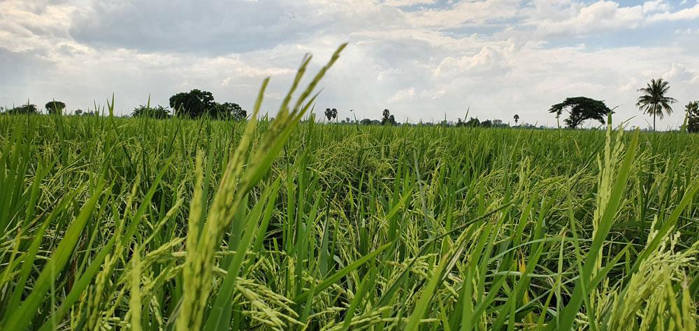 ชาวนาสุพรรณบุรี-สวณีย์ โพธิ์รัง เปิดเคล็ดลับผลิตสารชีวภัณฑ์ ป้องกันแมลงนาข้าว