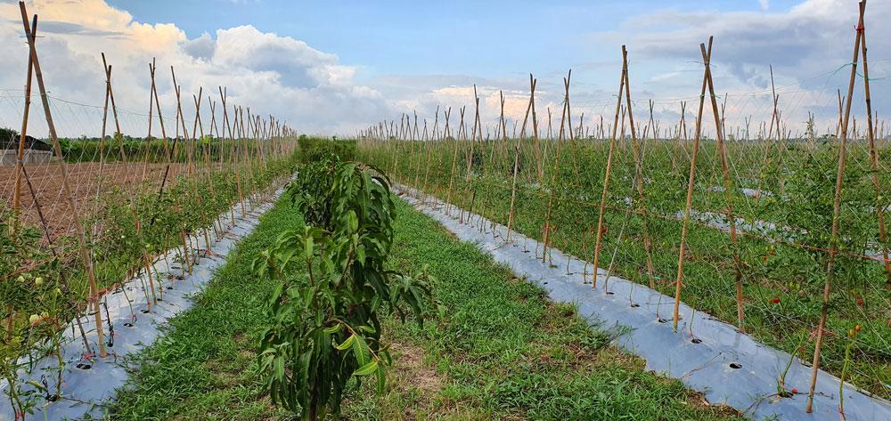 เกษตรรายได้ทั้งปี..กลเม็ดที่มาจากการวางแผน ของครอบครัวม่วงย้อย ที่โพธิ์ทอง