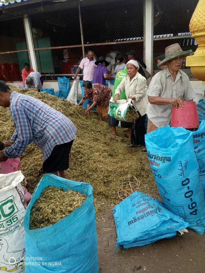 วอนผู้ใจบุญซื้อหญ้าให้หญ้าเลี้ยงวัว ควาย ยโสธร-อุบลราชธานี