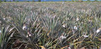 ระวังโรคยอดเน่ารากเน่าในสับปะรด