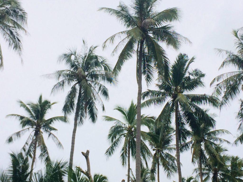 สวพ.7เร่งกู้วิกฤติการระบาดศัตรูมะพร้าวบนเกาะเต่า
