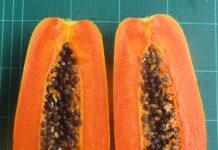 เปิดตัวมะละกอฮอลแลนด์พันธุ์ใหม่ ต้นเตี้ย ลูกดก ให้ผลผลิตไวแซงพันธุ์การค้า