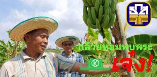 """เกษตรผสมผสานที่ไร่ชัยณรงค์ศึก """"กล้วยหอมส่งเซเว่นฯ"""" ฝีมือ เฮียหมู-เจ๊หล้า สอนศรี"""