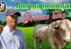 """""""โคพันธุ์ตาก"""" สุดยอดโคเนื้อฝีมือคนไทย ร่วมมือธ.ก.ส.พัฒนาอาชีพให้เกษตรกร"""