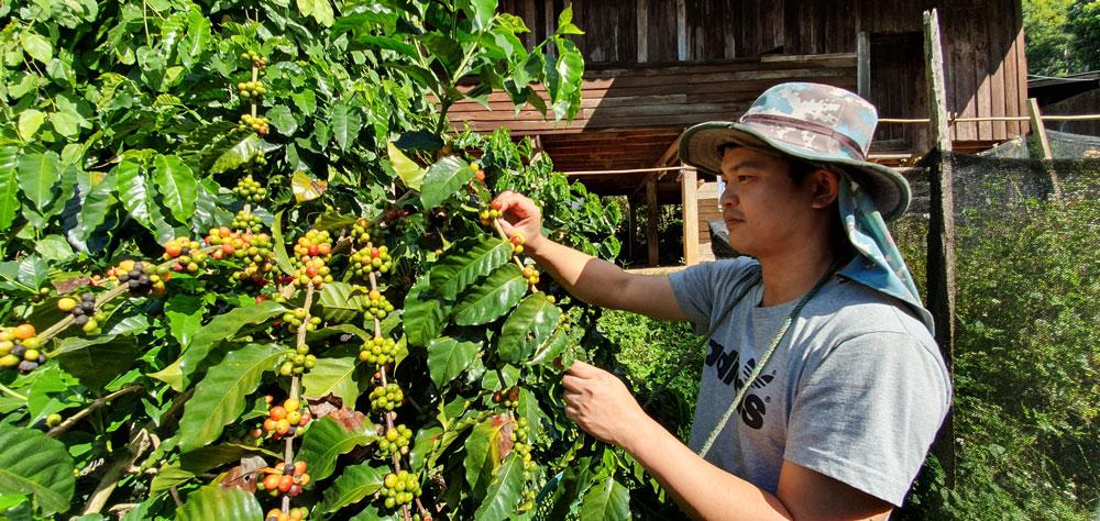 หนุ่มดอยกลับบ้านป่าเหมี้ยง สร้างแบรนด์กาแฟให้หมู่บ้าน...ธ.ก.ส.เมืองปานหนุนสุดๆ
