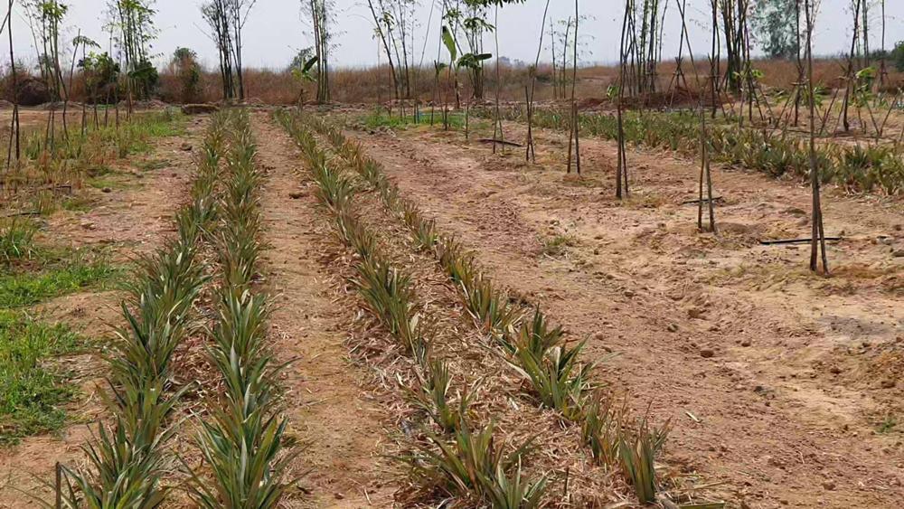 ปลูกสับปะรด แซมยางพารา