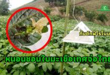 สั่งสกัดเข้มทุกด่าน! หนอนชอนใบมะเขือเทศจ่อชายแดนไทยแล้ว