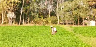 หวั่นภัยแล้งกระทบ เกษตรกรราชบุรี ปลูกถั่วลิสงแทนข้าวนาปรัง ลดความเสี่ยง แถมให้ผลตอบแทนสูง