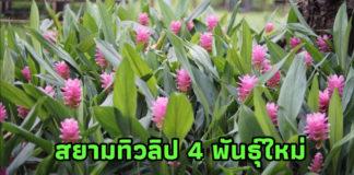 ตะลึงสยามทิวลิป 4 พันธุ์ใหม่สายสวยสะกดสาย ตาชาวไทยและต่างชาติ