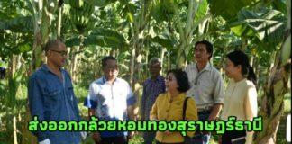 สศก. ดัน กล้วยหอมทองคุณภาพ จ.สุราษฎร์ธานี ส่งออกต่างประเทศ พร้อมตั้งเป้า ขยายพื้นที่กว่า 500 ไร่/ปี
