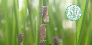 ระวัง! เพลี้ยกระโดดสีน้ำตาลนาข้าวระบาดช่วงแล้ง กรมส่งเสริมการเกษตร ออกโรงเตือนแล้ว