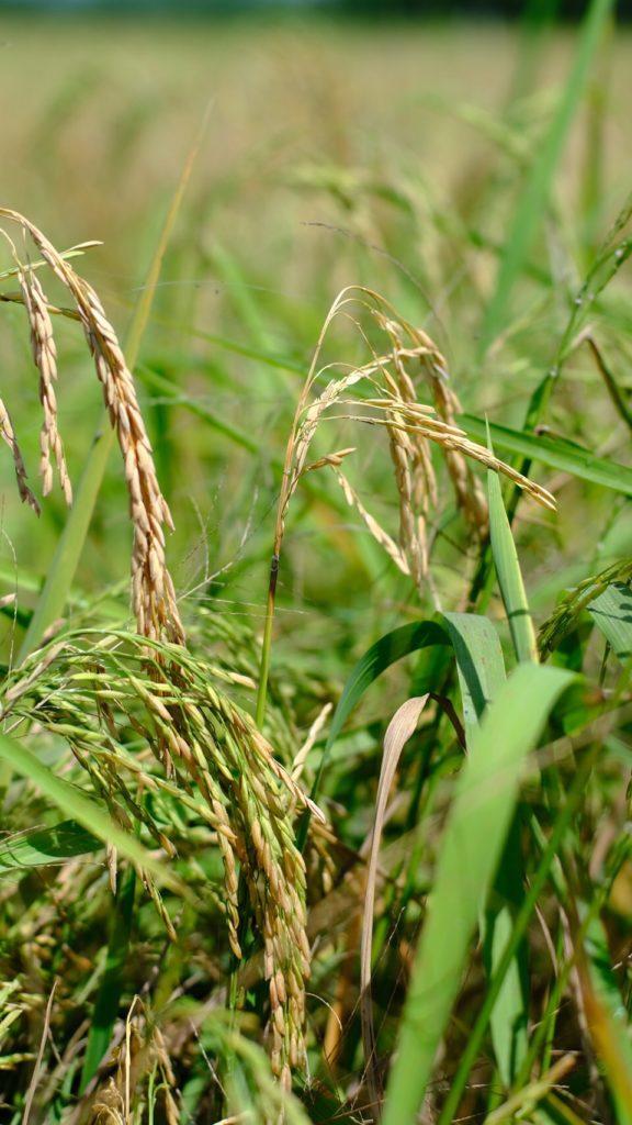 กรมส่งเสริมการเกษตรเตือนเพลี้ยกระโดดสีน้ำตาลระบาดในนาข้าวช่วงแล้ง