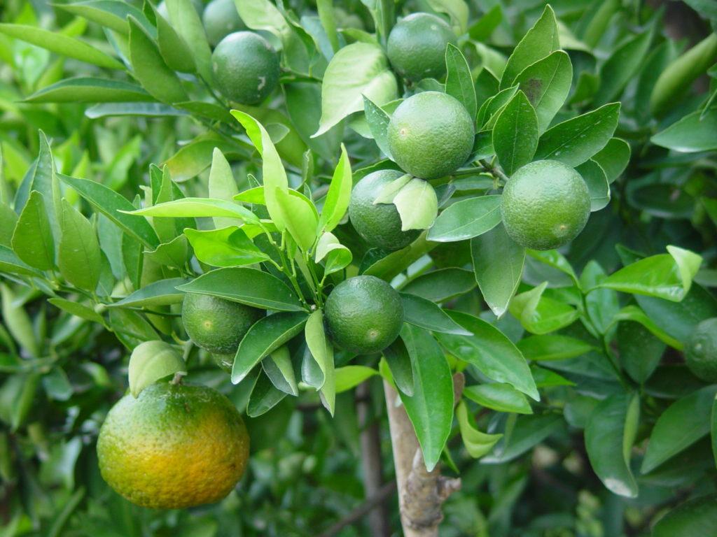 สวนส้มเปลือกล่อนให้ระวังเพลี้ยไก่แจ้ส้ม