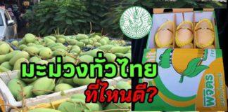 เชิญชวนคนไทยอุดหนุนมะม่วงสู้ COVID-19 เกษตรฯชี้เป้ามะม่วงแปลงใหญ่ทั่วประเทศ