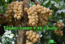 เผยตัวเลขไม้ผลตะวันออก ปี 63 ผลผลิตรวมกว่า 9.95 แสนตัน ตลาดส่งออกต้องจับตาโควิด 19