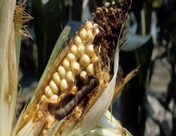 กรมส่งเสริมการเกษตรเตือนอากาศร้อนและแล้งระวังหนอนกระทู้ข้าวโพดลายจุดระบาด