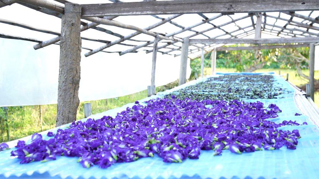 เกษตรฯ ลุยต่อเปิดตลาดดอกอัญชันเข้าอินโดนีเซีย