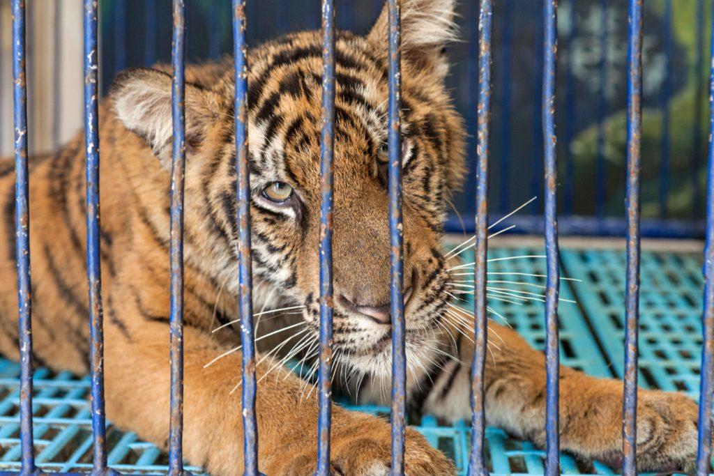 องค์กรพิทักษ์สัตว์ฯ เดินหน้าโครงการยุติการผสมพันธุ์เสือในกรงเลี้ยง ในอุตสาหกรรมการท่องเที่ยว ชี้เป็นการทรมานสัตว์และไม่ใช้การอนุรักษ์ที่แท้จริง