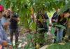 """โครงการ """"ต้นกล้าเพื่อชีวิตใหม่"""" จัดซื้อ """"ต้นกล้าโกโก้"""" 10,000 ต้น ให้เกษตรกรภาคเหนือ"""