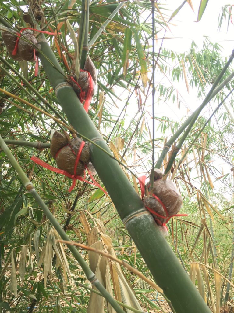 """""""ไผ่"""" พืชเศรษฐกิจทางเลือกที่มีอนาคตในพื้นที่นำร่อง จ.ชลบุรี สร้างมูลค่ากว่า 45 ล้านบาท"""