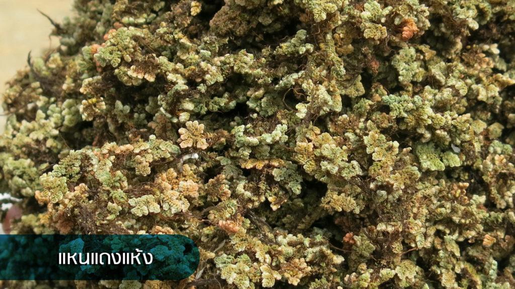 แหนแดงคว้าแชมป์ปุ๋ยพืชสดให้ธาตุอาหารสูงแซงพืชตระกูลถั่ว