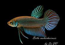 โครงการทรัพยากรชีวภาพปลากัดแห่งชาติ ประสบความสำเร็จในการถอดรหัสพันธุกรรมของจีโนมไมโทคอนเดรียของปลากัดป่ามหาชัยได้เป็นครั้งแรกของโลก