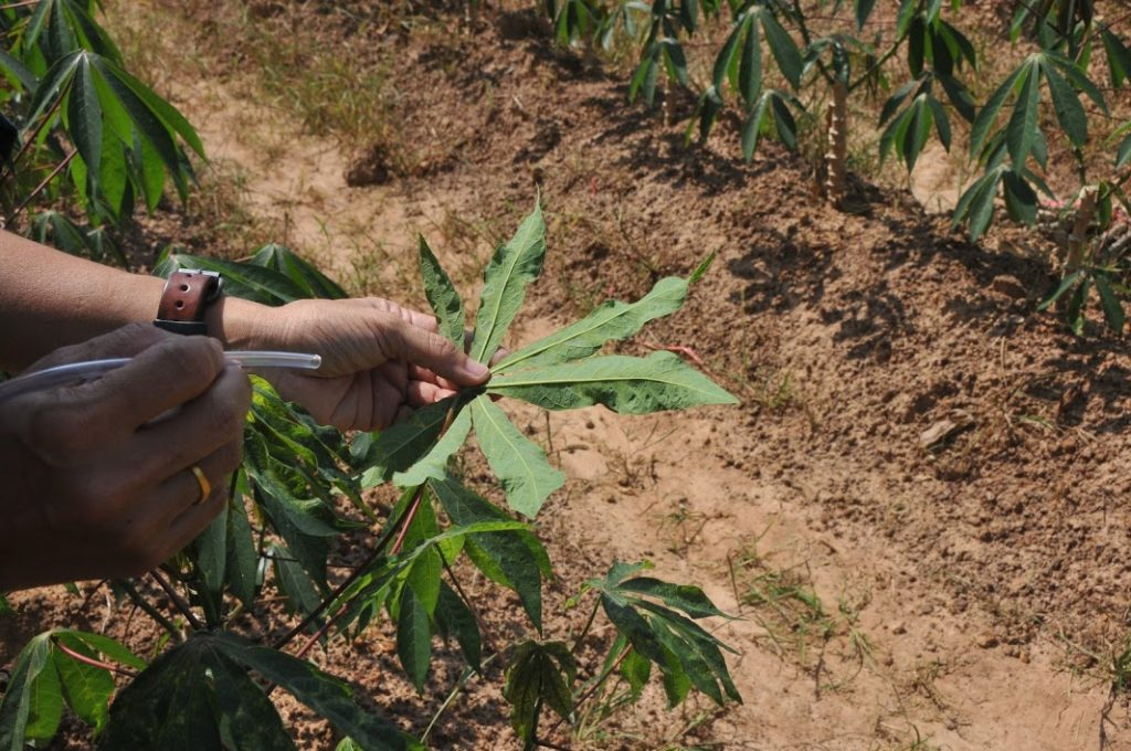 การ์ดตก พบโรคใบด่างระบาดกว่าแสนไร่ ชี้ต้นตอปลูกพันธุ์อ่อนแอ ใช้ท่อนพันธุ์ติดโรค
