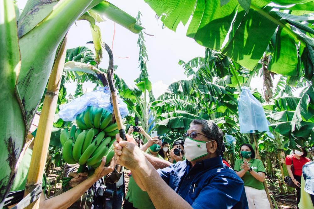 เกษตรจังหวัดนครราชสีมา ในฐานะประธานในพิธี กำลังตัดกล้วยหอมทองเป็นปฐมฤกษ์