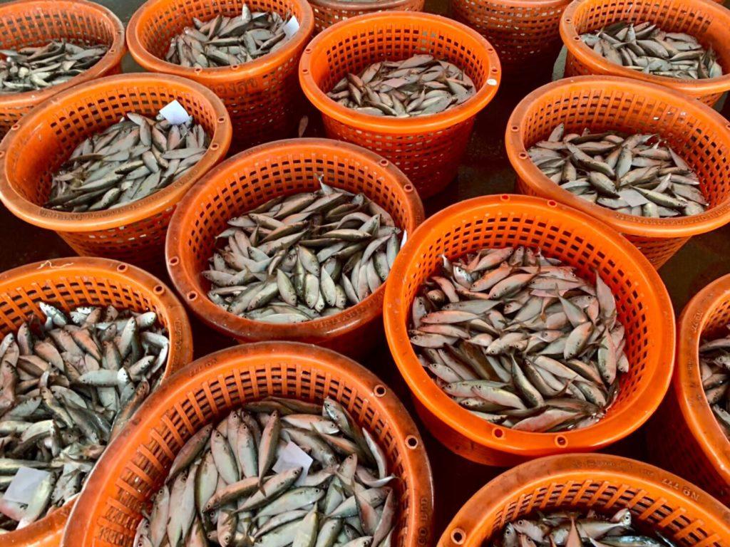 กรมประมงนำปลาทูไทยกลับมาแล้ว...จะบริหารจัดการร่วมกันต่อไปอย่างไรให้ยั่งยืน