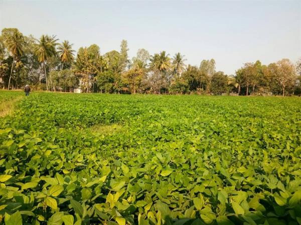 """หนุนเกษตรกรปลูก """"ถั่วลิสงพันธุ์พระราชทาน"""" สินค้า Future Crop จ.นครราชสีมา สร้างรายได้งามให้แก่เกษตรกร"""