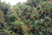 เกษตรฯ เผยมติ ครม. เยียวยาชาวสวนลำไยปี '63 ไร่ละ 2,000 บาท ไม่เกิน 25 ไร่