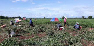 """หนุนเกษตรกรปลูก """"ถั่วลิสงพันธุ์พระราชทาน"""" สินค้า Future Crop จ.นครราชสีมา สร้างรายได้งาม"""