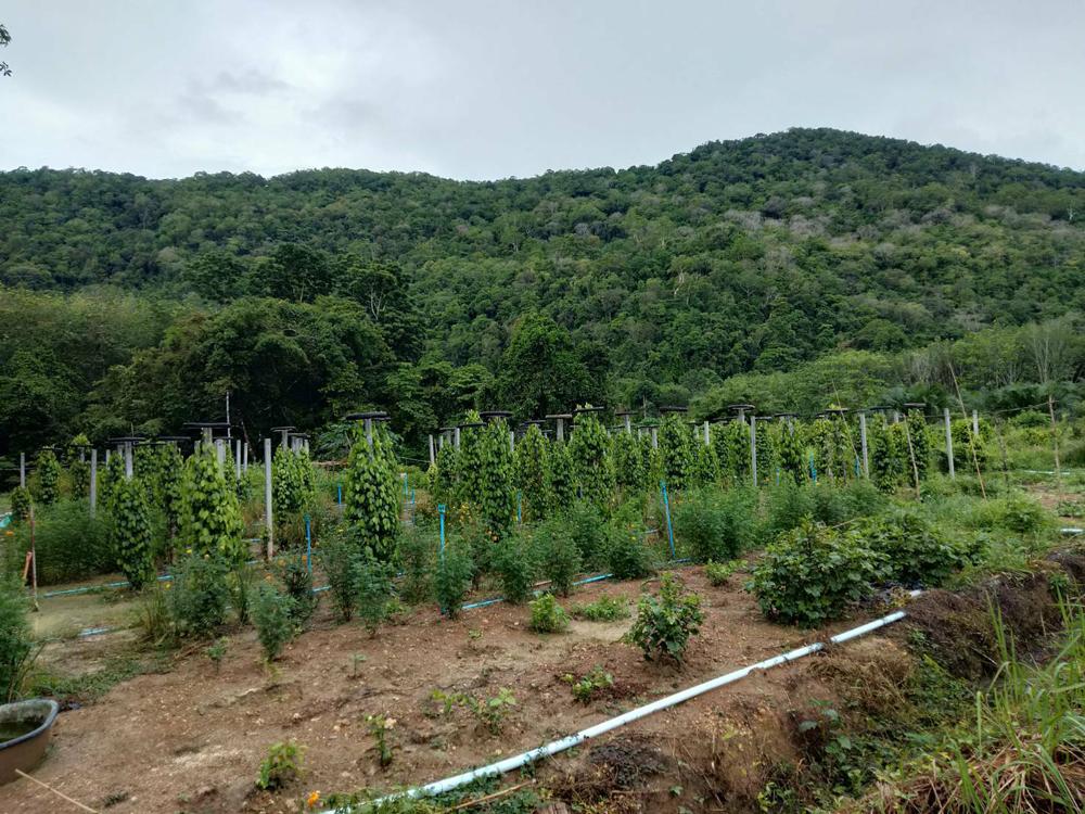 พริกไทยปะเหลียนจะได้ GI..เกษตรกรหวังมูลค่าเพิ่ม