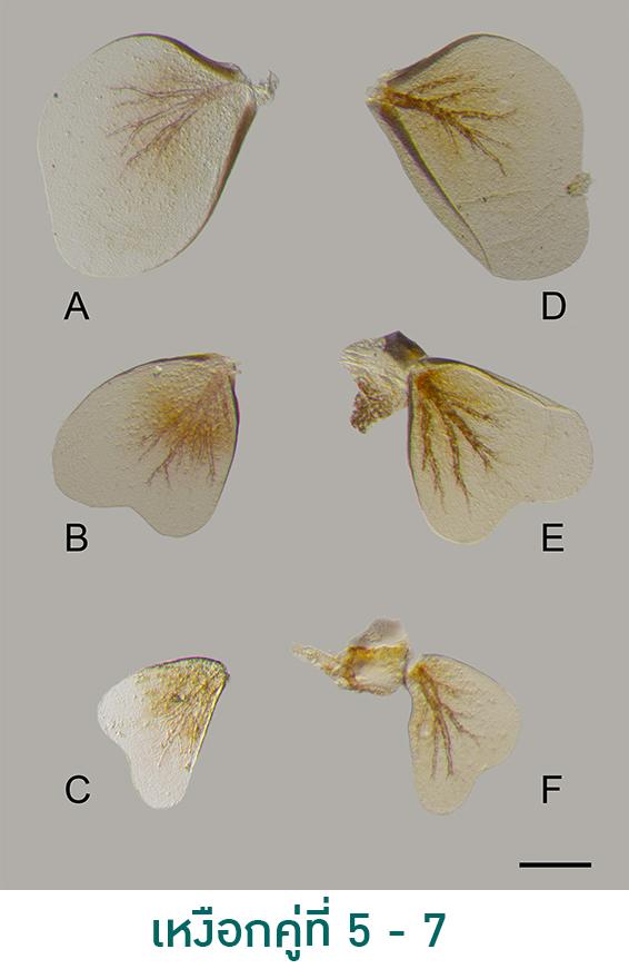 """ม.เกษตรฯค้นพบ  """"แมลงชีปะขาวสกุลใหม่ของโลก"""" ที่กาญจนบุรีและเลย"""