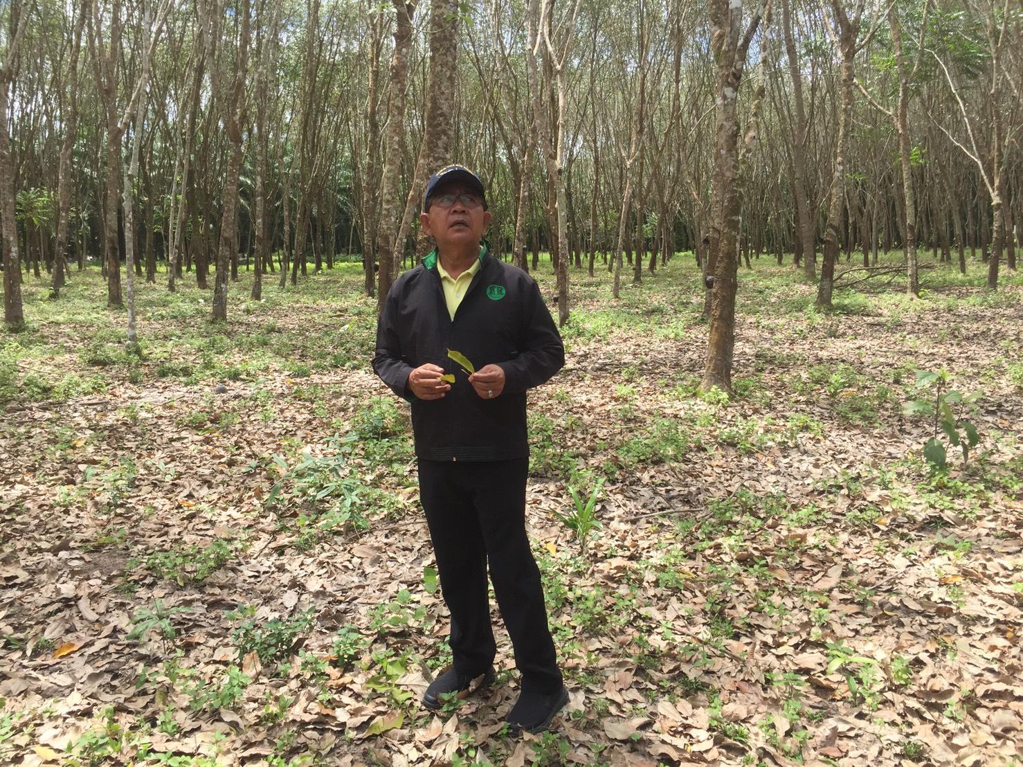 สำนักงานเกษตร กระบี่ เตือนชาวสวนยางพารา เฝ้าระวังโรคใบร่วงของยางพาราจากเชื้อราไฟทอปธอร่า ระบาด ในช่วงหน้าฝน