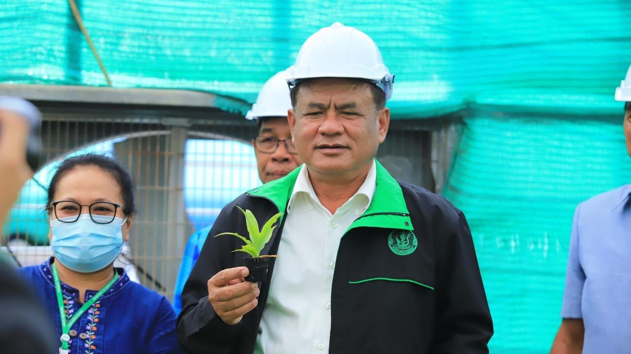 กรมส่งเสริมการเกษตรหนุนปลูกสับปะรดผลสด MD2 พันธุ์ดี โดยการเพาะเลี้ยงเนื้อเยื่อ แทนสับปะรดโรงงาน