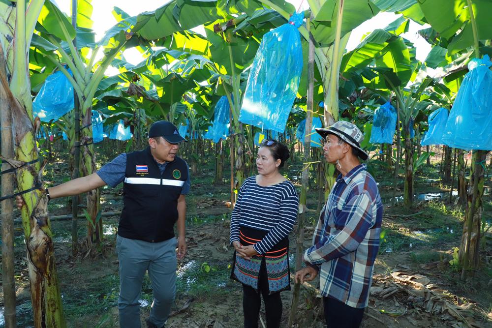 เกษตรฯ ปลื้มเกษตรกรแปลงใหญ่กล้วยหอม ใช้ตลาดนำการผลิต อ